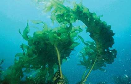 Seaweed Cancer Hope